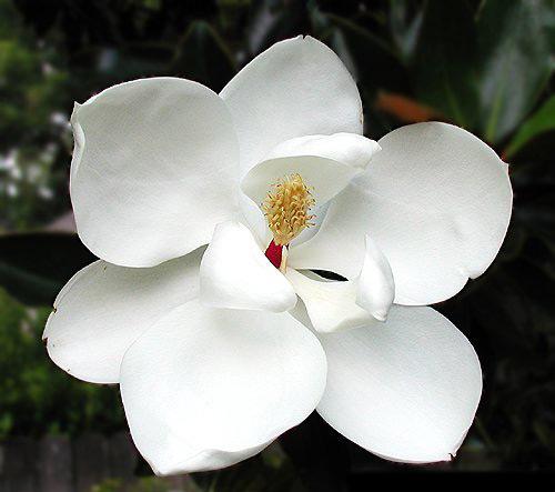 Magnolia (500x443, 43Kb)