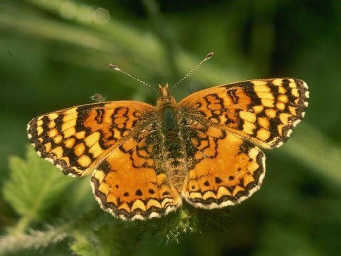Papillon 06 (700x525, 50Kb)