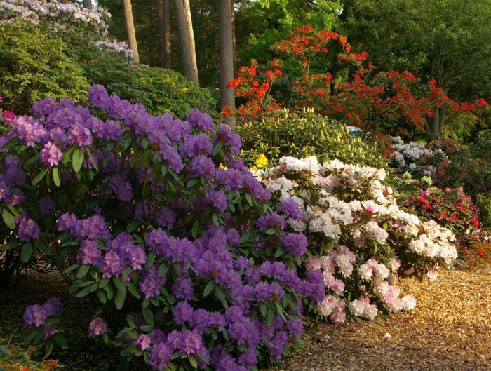 Рододендроновый парк-Westerstede Rhododendronpark. 49134