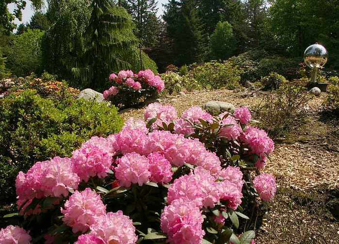 Рододендроновый парк-Westerstede Rhododendronpark. 47229