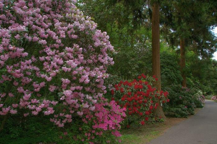 Рододендроновый парк-Westerstede Rhododendronpark. 32418