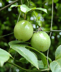 passiflora-sedobnaya2 (200x234, 15Kb)