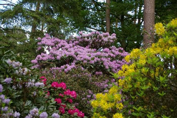 Рододендроновый парк-Westerstede Rhododendronpark. 21670
