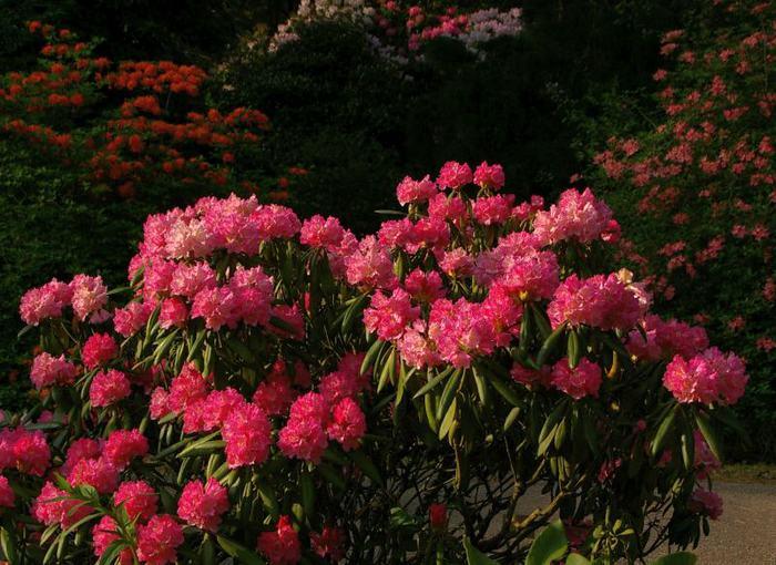 Рододендроновый парк-Westerstede Rhododendronpark. 65114
