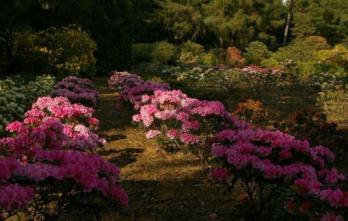 Рододендроновый парк-Westerstede Rhododendronpark. 13275