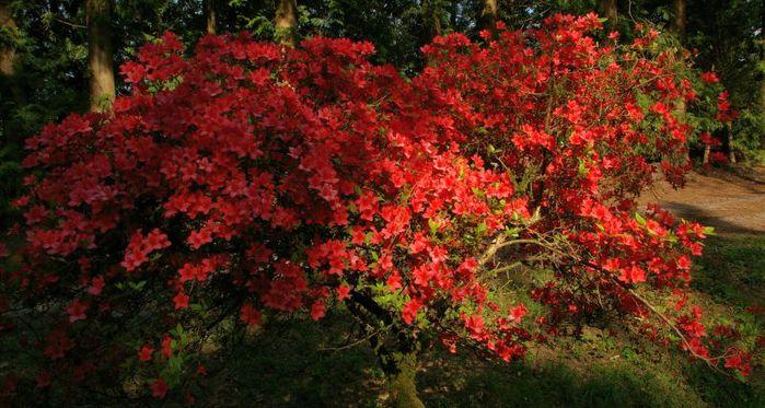Рододендроновый парк-Westerstede Rhododendronpark. 40843
