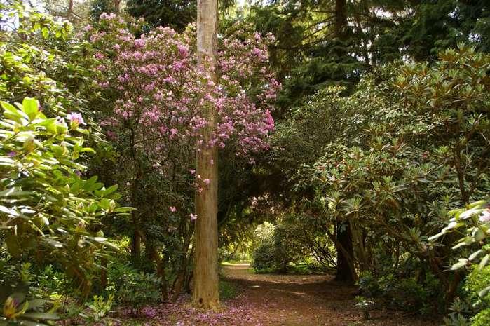 Рододендроновый парк-Westerstede Rhododendronpark. 21724