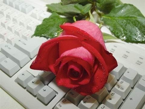 3109898_Roza_na_klave (480x360, 28Kb)