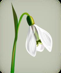 gurica_flowers_snowdrop (209x250, 43Kb)
