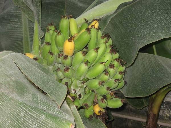 banan2 (600x450, 47Kb)