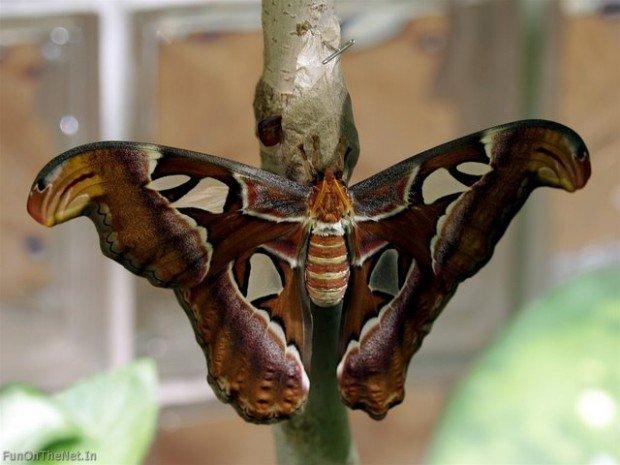Самая большая в мире бабочка/1362051206_1361998394_1361913544_4_1 (620x465, 128Kb)
