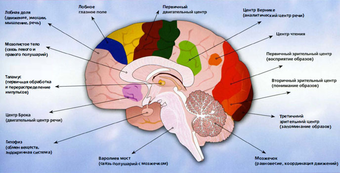 Преобладание головного мозга