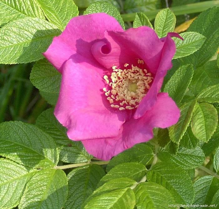 Rosa sect. cinnamomeae.  Классификация Род: Шиповник (Rosa) Класс: Гибриды розы Ругоза Серия.