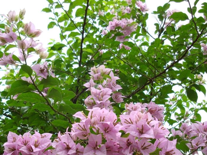 bougainvillea-lilac-dsc01694 (700x525, 368Kb)