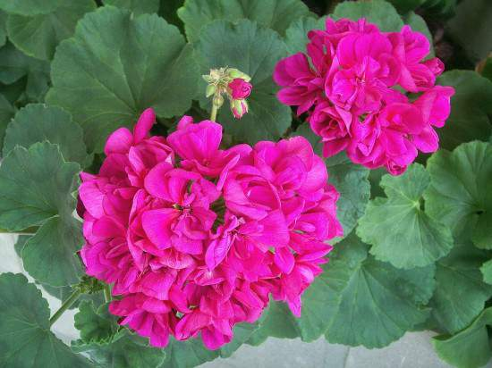 Комнатное цветоводство - Страница 2 97955099_pelargoniumzonale_purpleball550x412