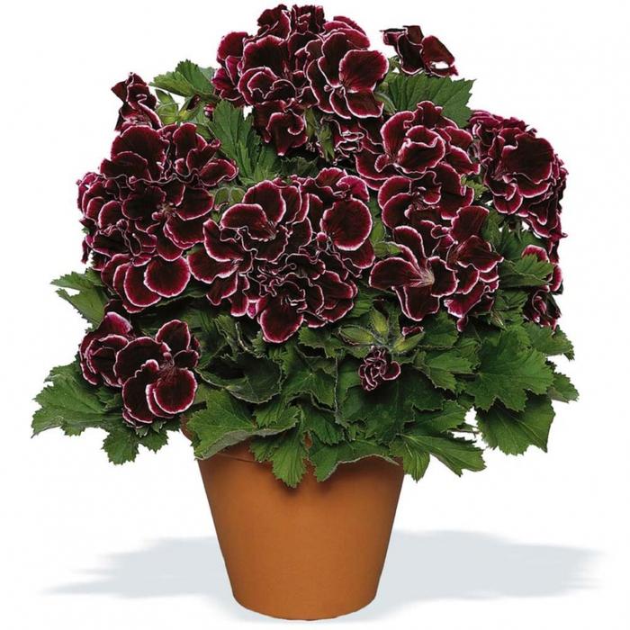 растение пеларгония