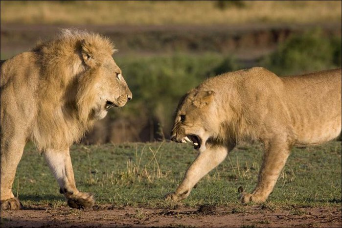 5028_lions_fight_001 (700x466, 74Kb)
