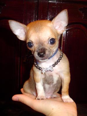 Самая маленькая порода собак -чихуахуа, которая была выведена в 1850 году в Мексике.  Породу назвали в честь штата...