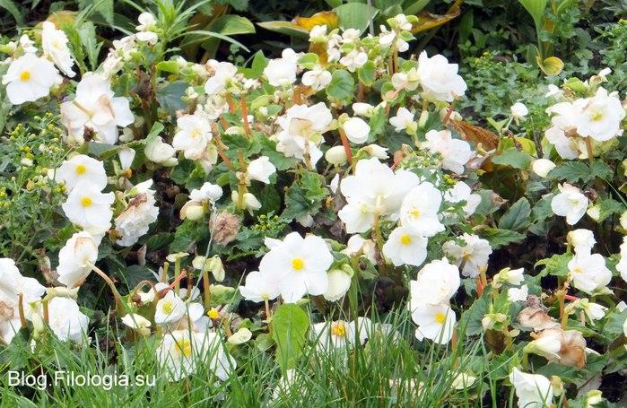 Фото белых цветов на природе/3241858_Zverty12 (700x455, 123Kb)