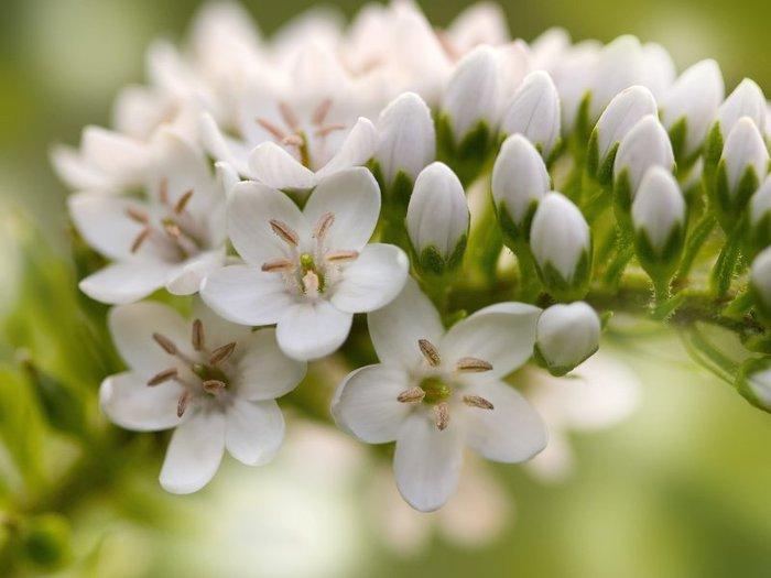 цветы белые фото