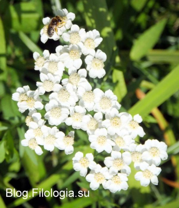 Нежные белые цветы/3241858_Zverty5 (602x700, 268Kb)