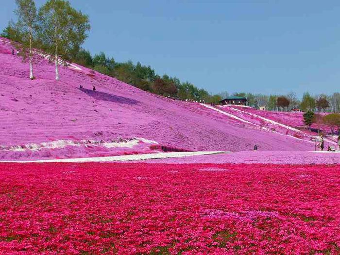 Холм Shibazakura цветение флоксов (700x525, 174Kb)