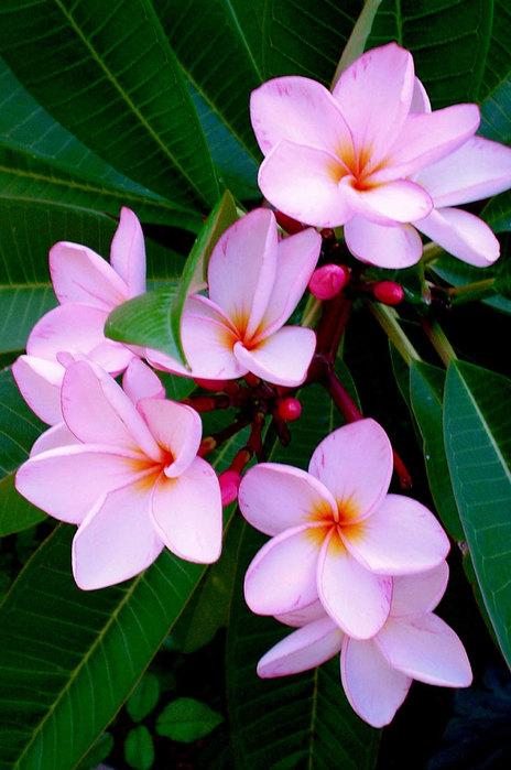 flowers155 (464x700, 88Kb)