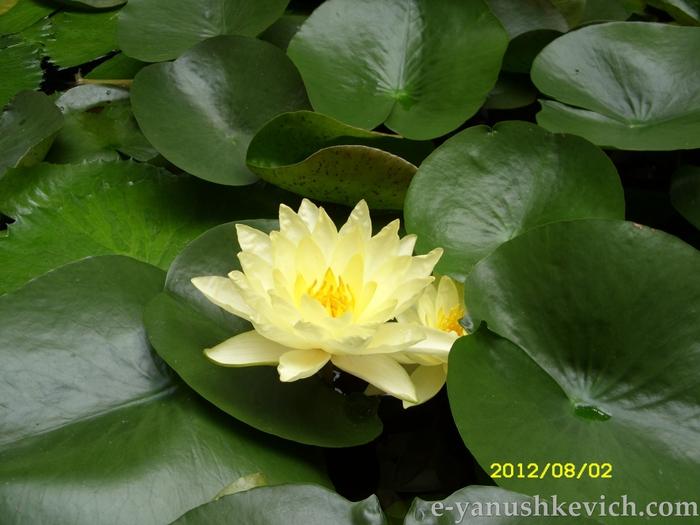 Возьмите силу водяной лилии!/2626622_SDC11645 (700x525, 253Kb)