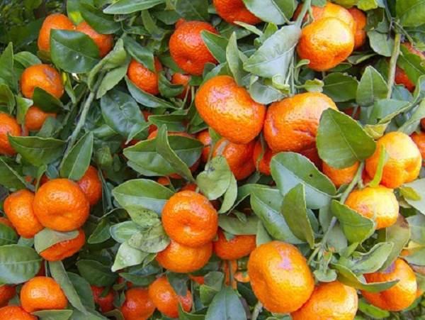 1350653805_kak-vyrastit-mandarin-v-domashnih-uslovijah-2 (600x451, 50Kb)