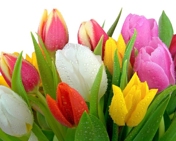 тюльпаны (604x483, 64Kb)