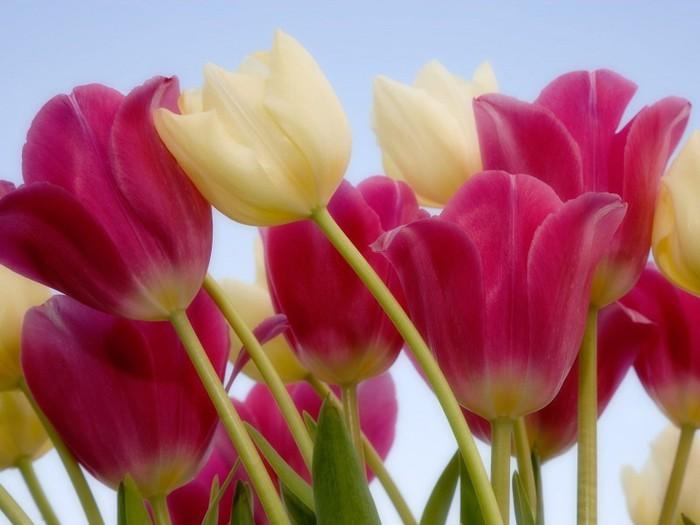 тюльпаны4 (700x525, 65Kb)