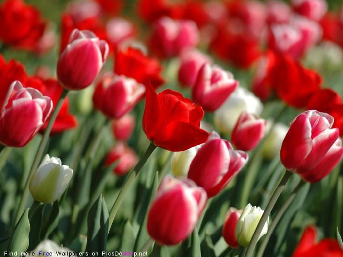 тюльпаны6 (700x525, 95Kb)