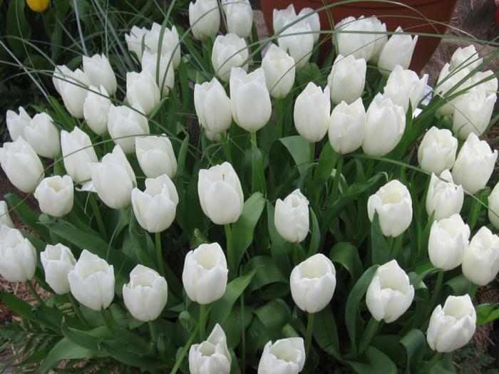 тюльпаны9 (700x525, 291Kb)
