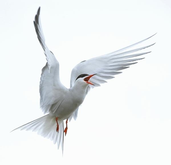 бел.птиц. (600x580, 58Kb)