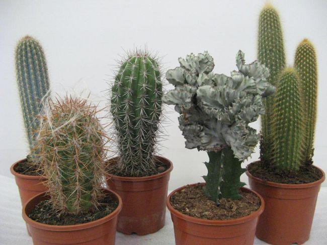 repotting-cactus1 (650x488, 59Kb)