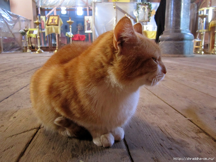 Котик монастырский рыжий. 2 (700x525, 318Kb)