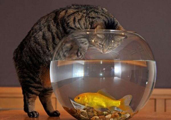 2835299_catandgoldfish02 (600x422, 54Kb)