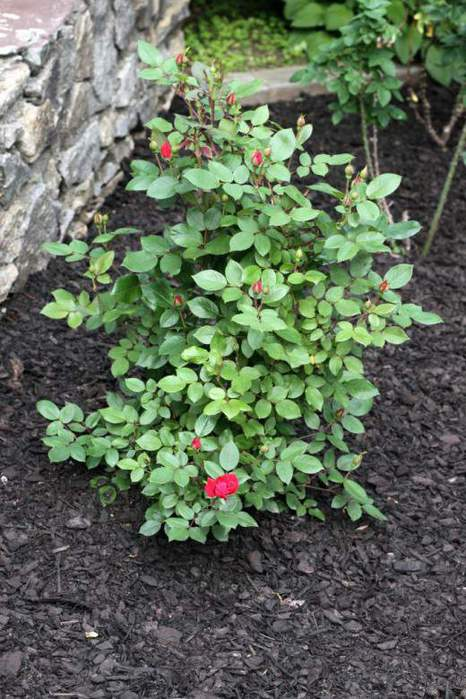Shrub-roses2-520x780 (466x700, 68Kb)