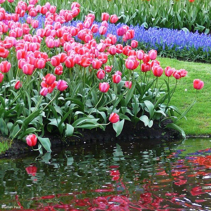 Тюльпаны цветы весны