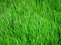 4839503_grass (209x157, 34Kb)