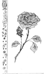 Превью Роза (418x700, 99Kb)
