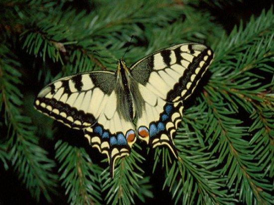Фотографии тропических бабочек.