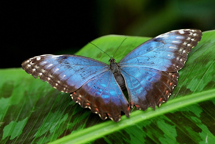 Tropical-Butterflies-Disp-012 (700x468, 240Kb)