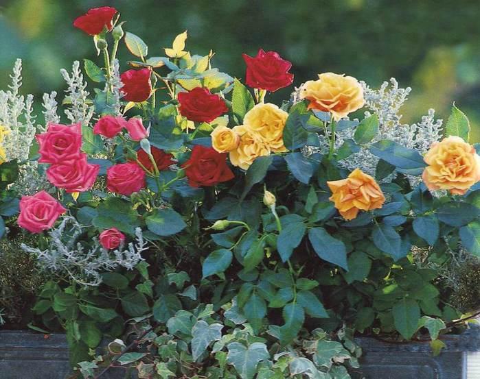 Плетистая роза на балконе 5
