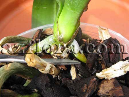 Как размножают орхидеи в домашних условиях