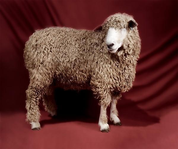 Овца (600x500, 45Kb)