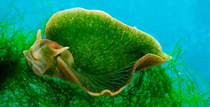 seaslug (700x357, 38Kb)