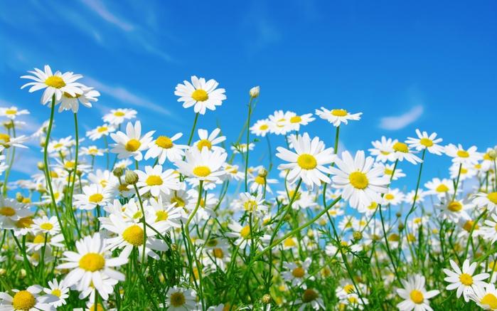 Картинки цветы ромашки красивые 3