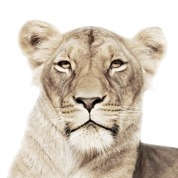 ANIMAL PORTRAITS MORTEN KOLDBY PHOTOGRAPHY5/3629830_ANIMAL_PORTRAITS_MORTEN_KOLDBY_PHOTOGRAPHY5 (600x600, 60Kb)