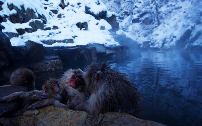 японские макаки купаются в горячих источниках Джигокудани 4 (700x437, 271Kb)